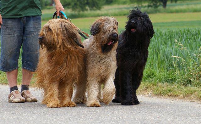 Фотография собак породы Бриар