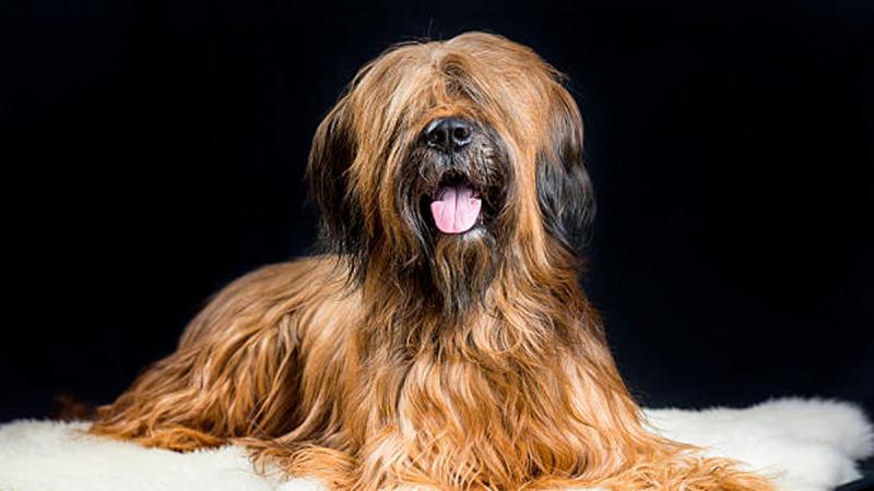 Внешний вид собаки породы Бриар