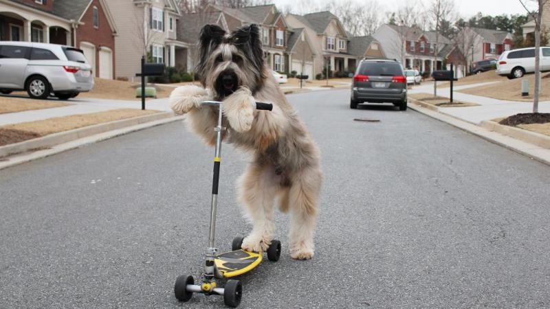 Собака породы Бриар на самокате