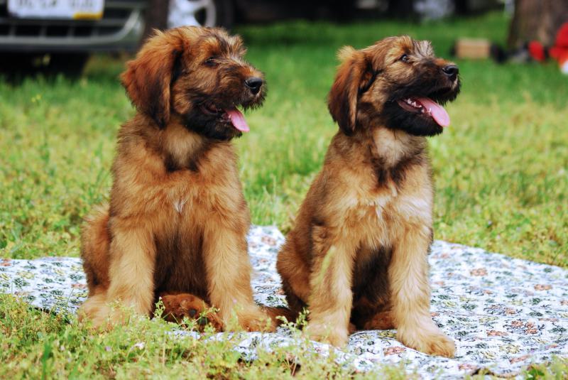 Два щенка породы Бриар