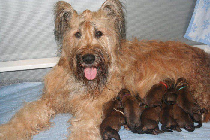Маленькие щенки породы Бриар с мамой