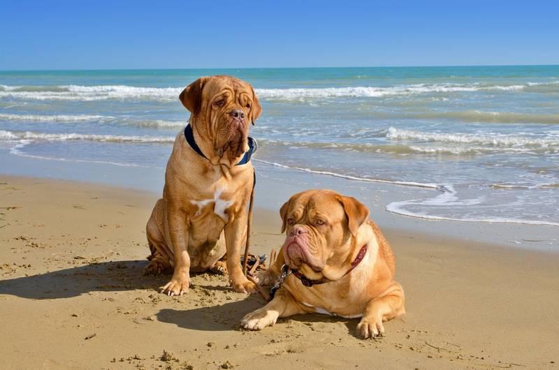 Фотография двух собак породы Бордоский дог