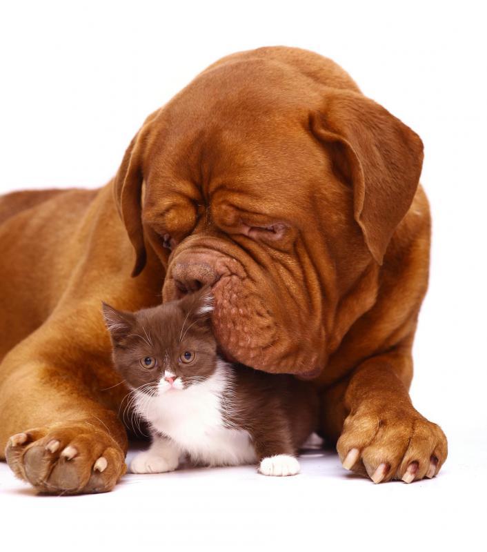 Бордоский дог (Французский мастиф) с кошкой