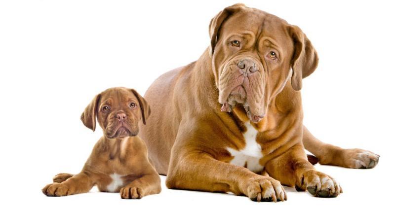 Щенок с взрослой собакой породы Бордоский дог (Французский мастиф)