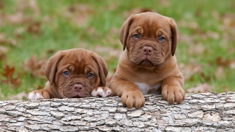 Два щенка породы Бордоский дог (Французский мастиф)
