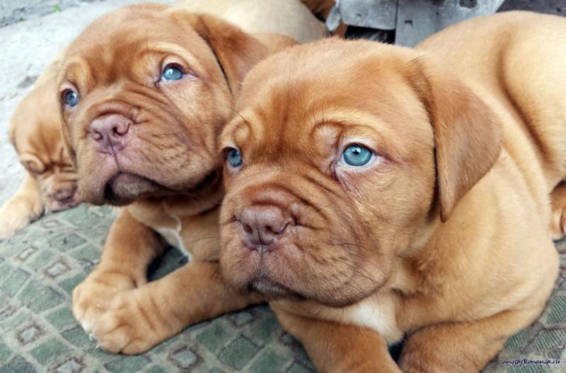 Щенки собаки породы Бордоский дог (Французский мастиф)
