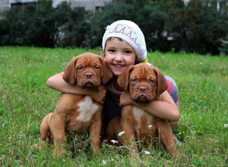 Щенки породы Бордоский дог (Французский мастиф) с ребенком