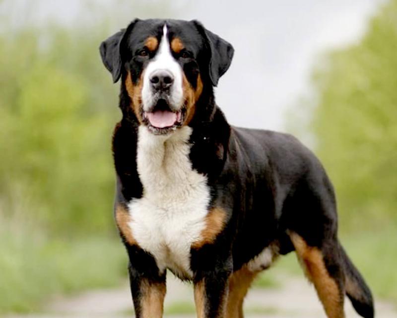 Собака породы Большой швейцарский зенненхунд