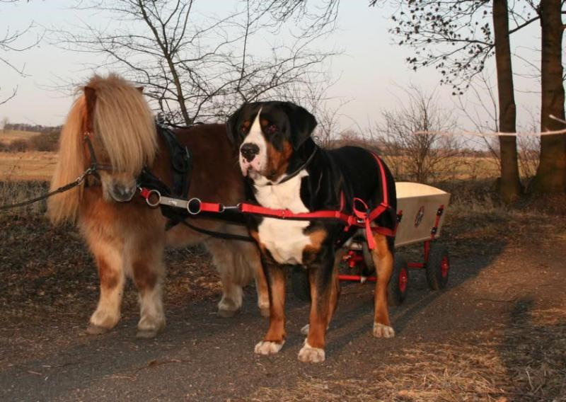 Большая швейцарская горная пастушья собака катит тележку
