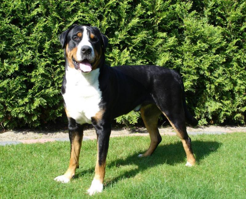 Большая швейцарская горная пастушья собака - внешний вид