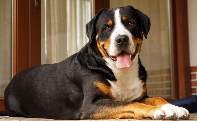Фотография собаки породы Большая швейцарская горная пастушья собака