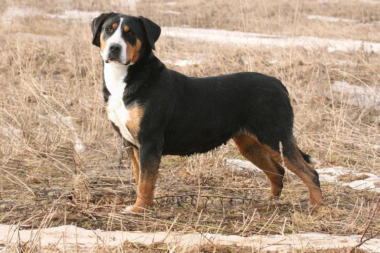 Внешний вид собаки породы Большой швейцарский зенненхунд