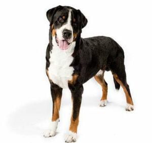 Большой швейцарский зенненхунд (Большая швейцарская горная пастушья собака)