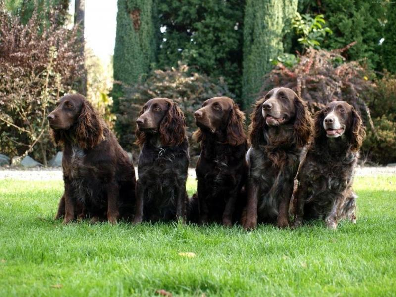 Фотография собак породы Вахтельхунд