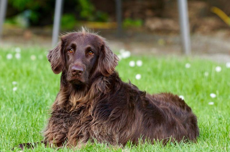 Вахтельхунд - внешний вид собаки