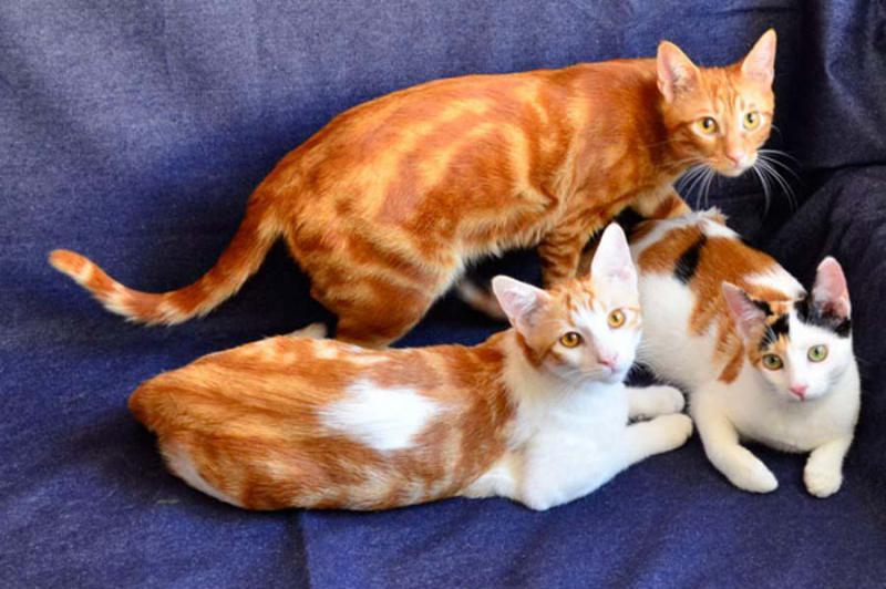 Анатолийская кошка рыжего окраса