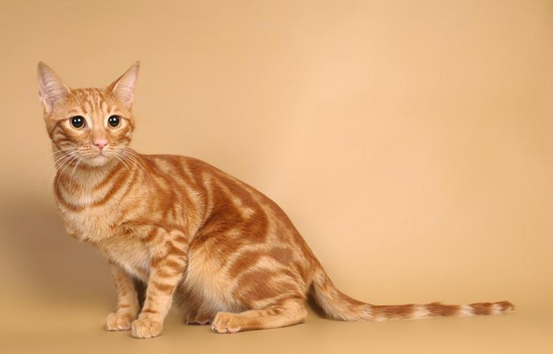 Анатолийская кошка окраса табби