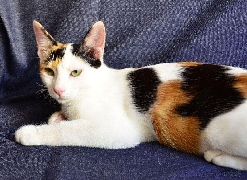 Анатолийская кошка окрас трехцветный