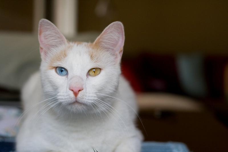 Фотография кошки породы Анатолийская кошка