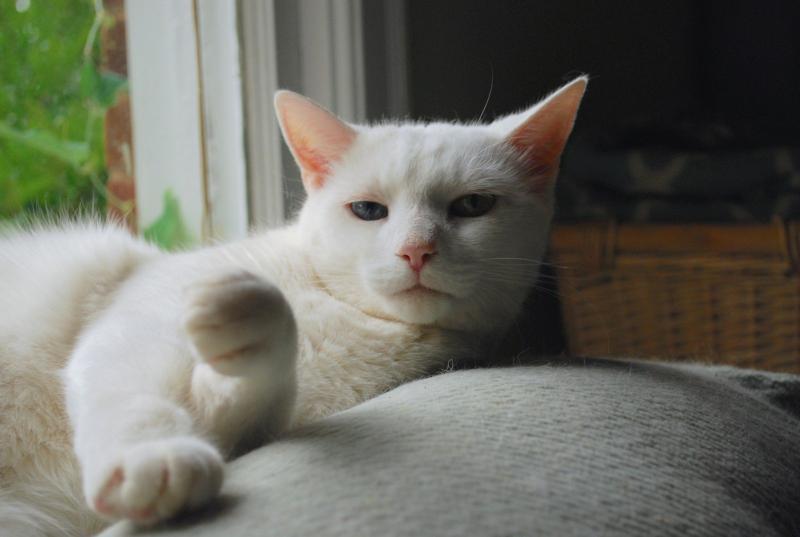 Кошка породы Анатолийская кошка