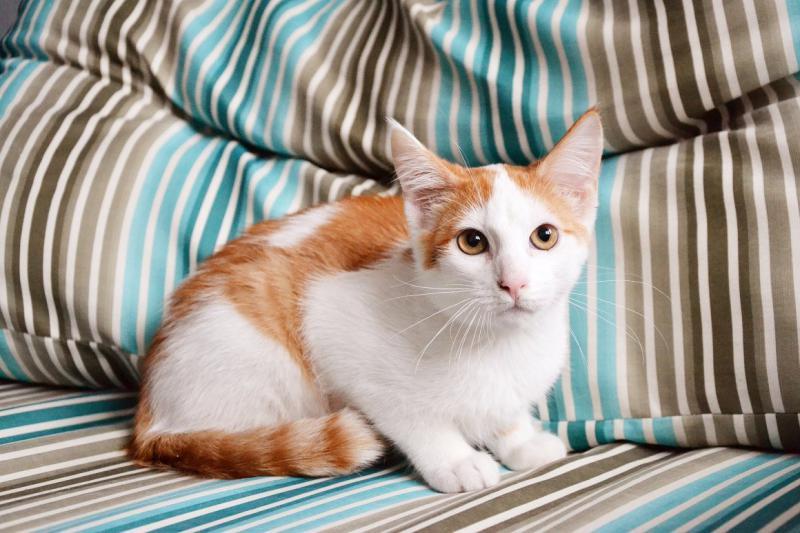 Фото кошки породы Анатолийская кошка