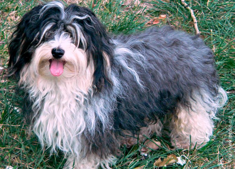 Фотография собаки породы Гаванский бишон (хаванез)