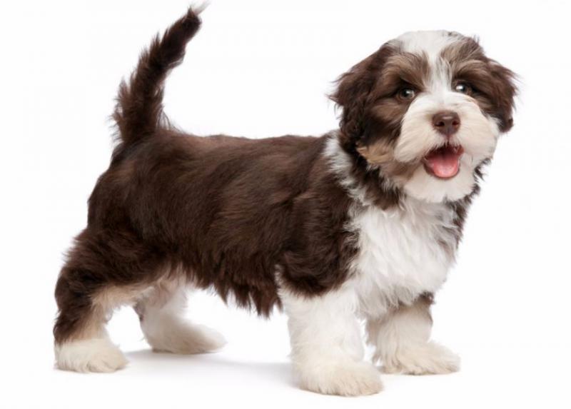 Фото собаки породы Гаванский бишон (хаванез)