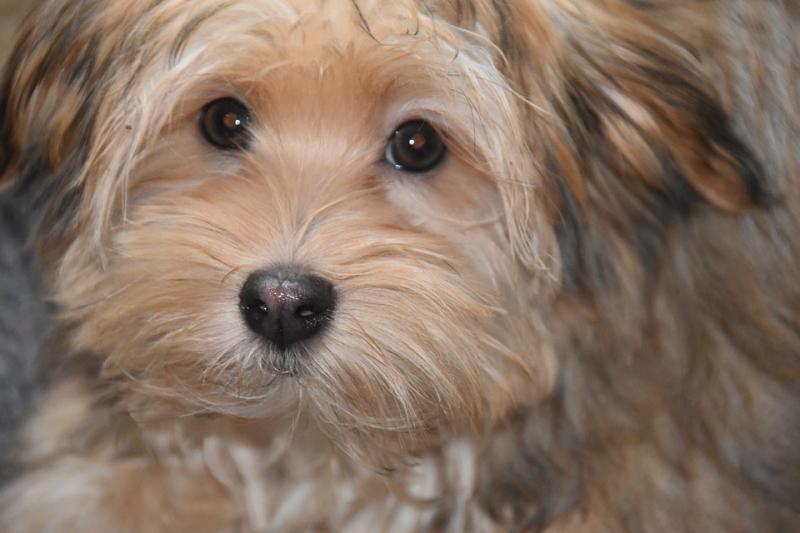 Морда собаки породы Гаванский бишон (хаванез)