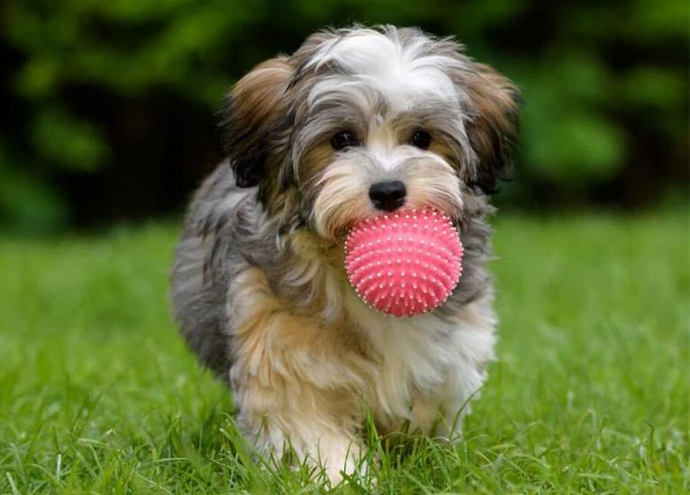Собака породы Гаванский бишон (хаванез)