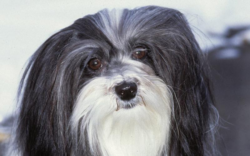 Голова собаки породы Гаванский бишон (хаванез)