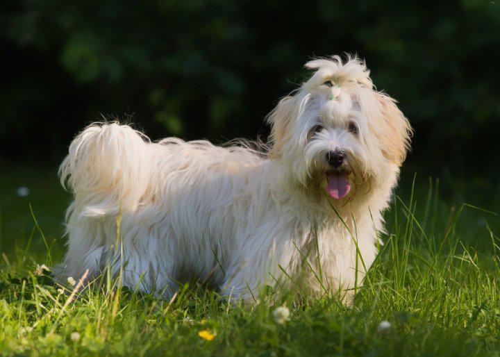 Порода собаки Гаванский бишон