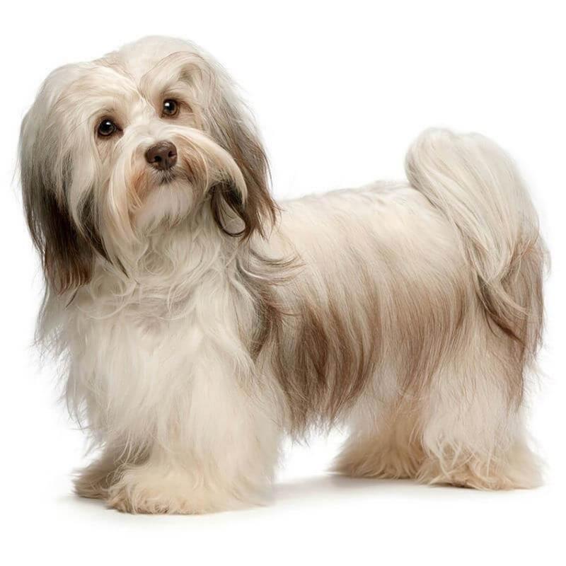 Фотография собаки породы хаванез
