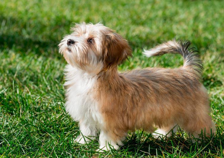 Внешний вид собаки породы Гаванский бишон (хаванез)