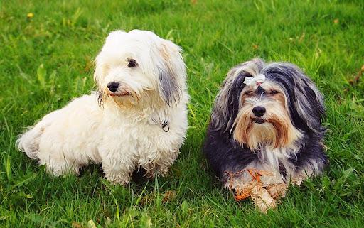 Две собаки породы Гаванский бишон (хаванез)