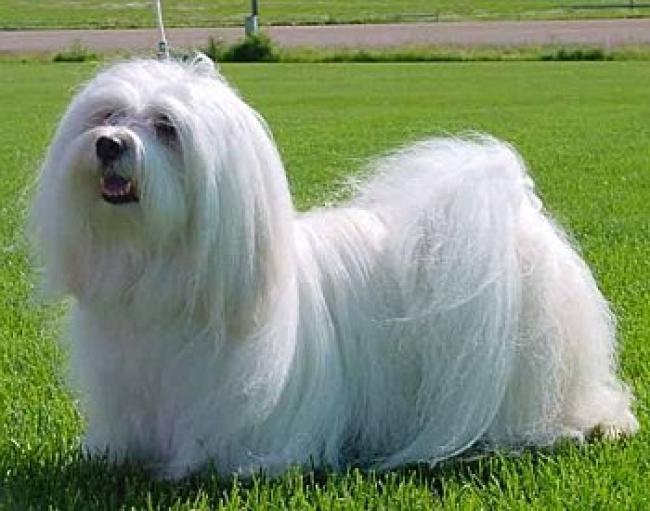 Прическа собаки породы Гаванский бишон (хаванез)
