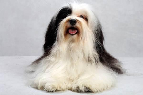 Стрижка собаки породы Гаванский бишон (хаванез)