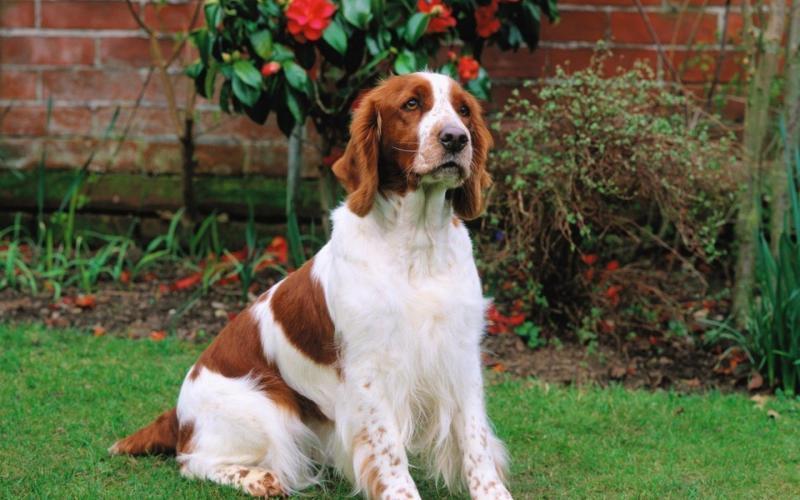 Фото собаки породы Вельш-спрингер-спаниель