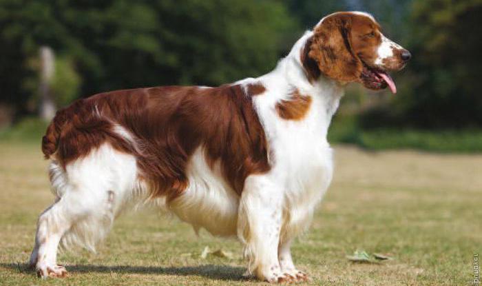Фотография собаки породы Вельш-спрингер-спаниель