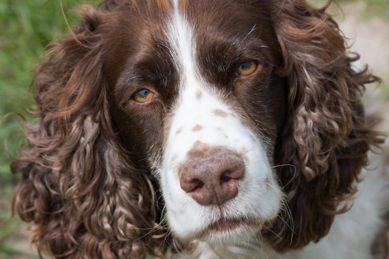 Морда собаки породы Вельш-спрингер-спаниель