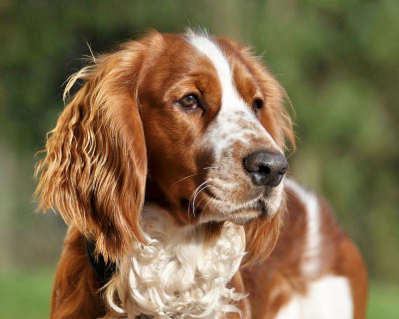 Голова собаки породы Вельш-спрингер-спаниель
