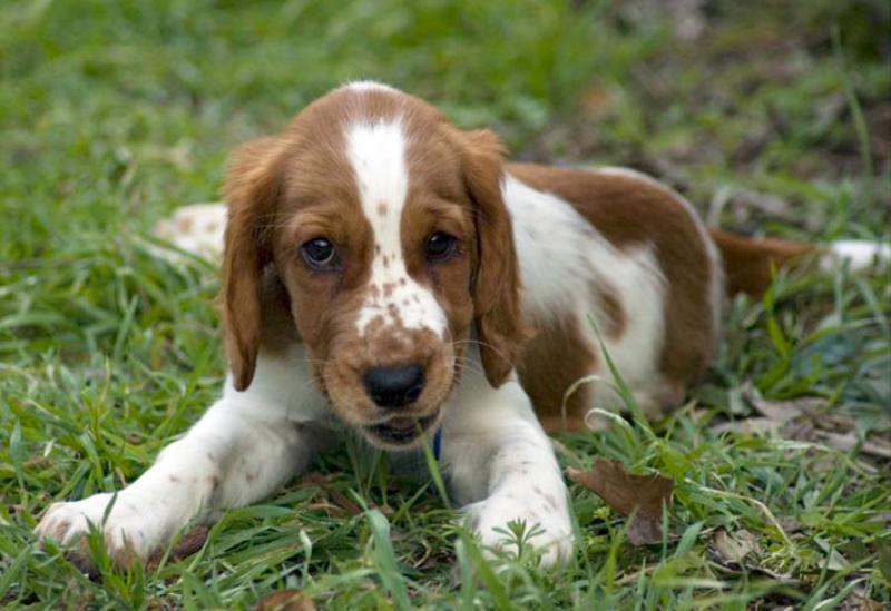 Фотография щенка породы Вельш-спрингер-спаниель