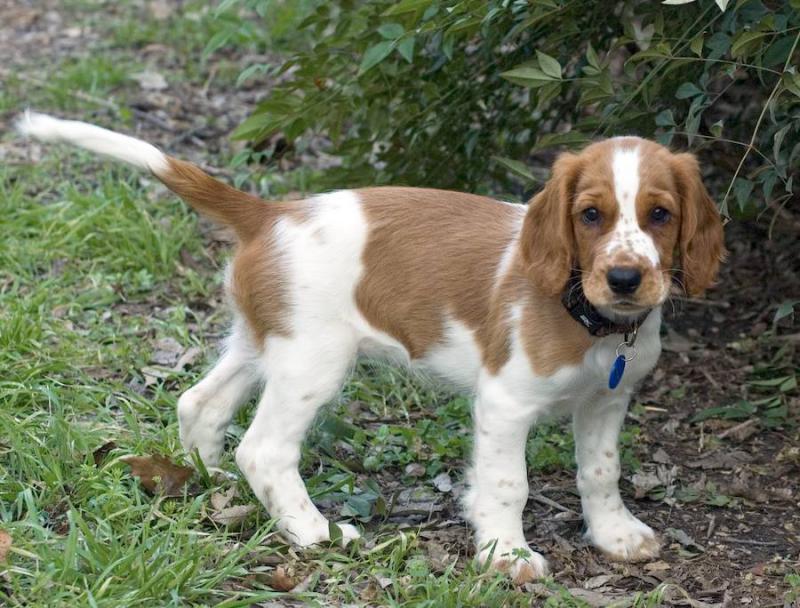 Фото щенка породы Вельш-спрингер-спаниель
