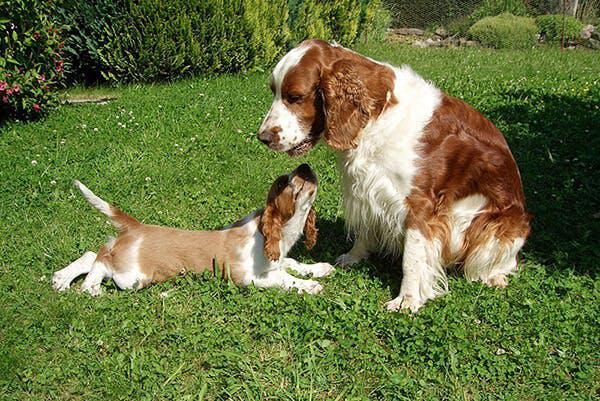 Щенок Вельш-спрингер-спаниель с мамой
