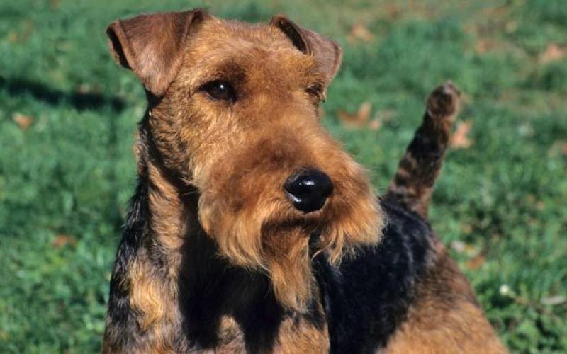 Морда собаки породы Вельштерьер