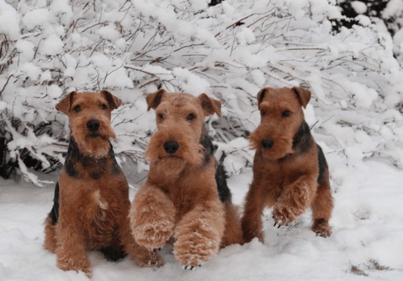 Фотография трех собак породы Вельштерьер зимой