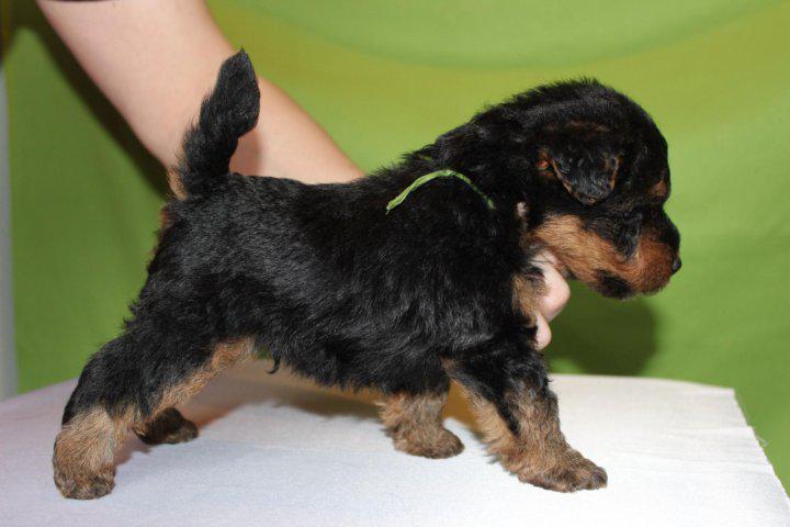 Фото щенка породы Вельштерьер