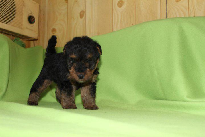 Маленький щенок породы Вельштерьер