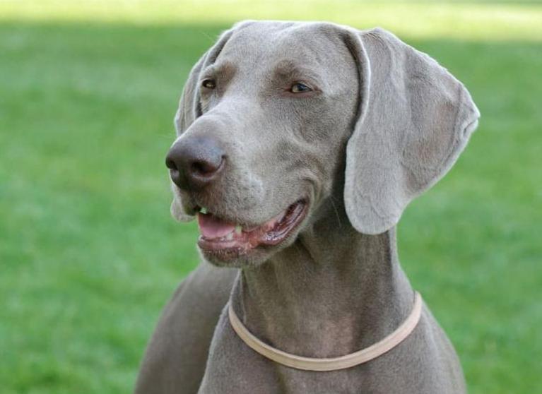 Голова собаки породы Веймаранер