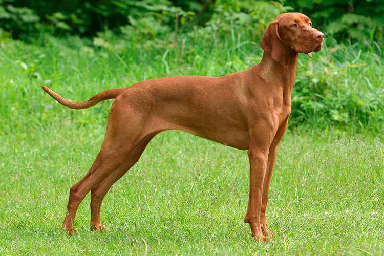 Фотография собаки породы Венгерская выжила