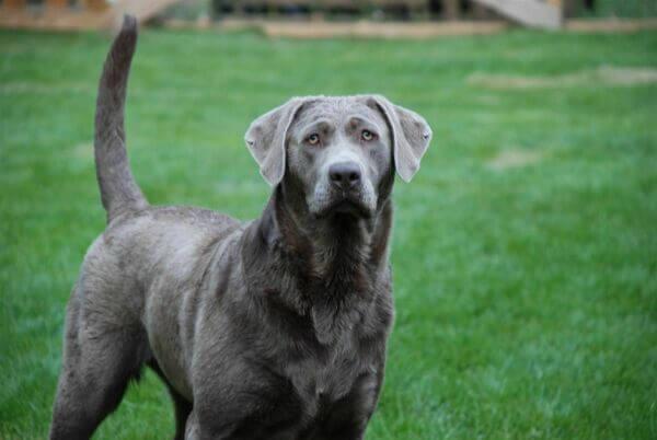 Фото собаки породы Серебристый лабрадор
